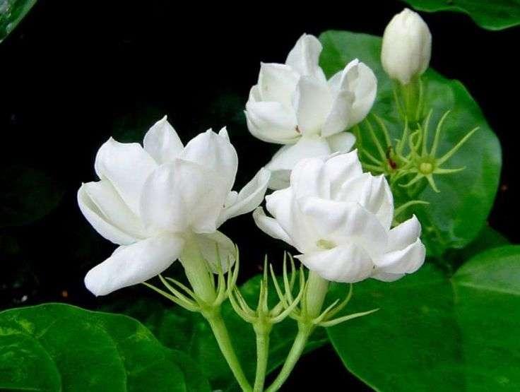 The beautiful sampaguita flower