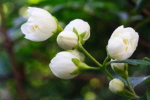 The Sweet Little Sampaguita, the Filipinos, and the Malolos 'Planta' 1