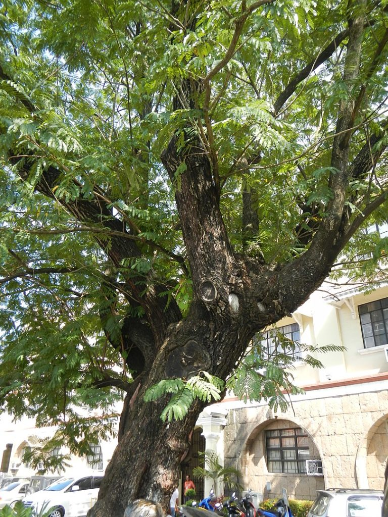 KALAYAAN TREE of Malolos: The Legendary 125 Year-Old Tree 2