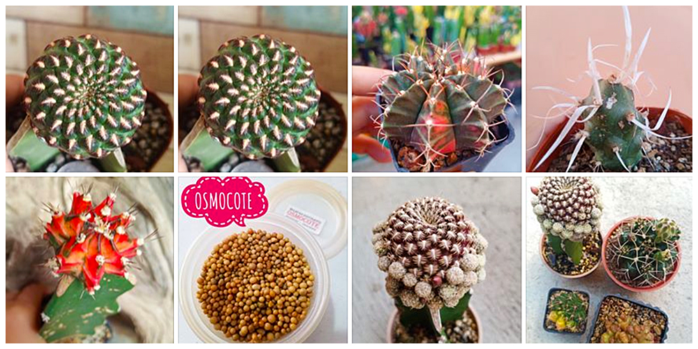 Cactus-Succulents Bulacan  - Cactus, Succulents and Indoor Plants in Bulacan