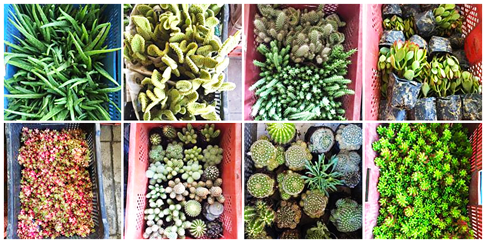 Gardenista.ph - Cactus, Succulents and Indoor Plants in Bulacan