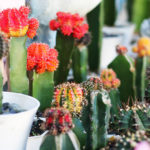 Where can I buy Cactus, Succulents and Indoor Plants in Bulacan?