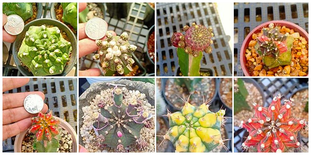 Crazy Hardenera - Cactus, Succulents and Indoor Plants in Bulacan