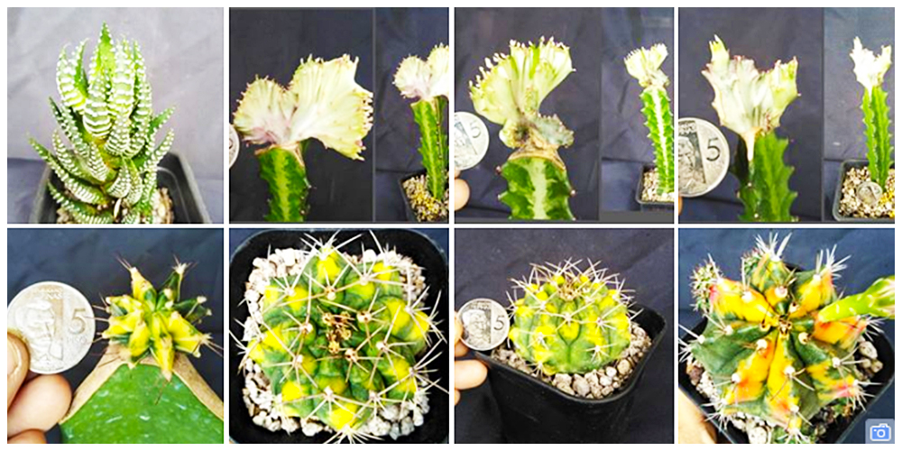 Where can I buy Cactus, Succulents and Indoor Plants in Bulacan? 1